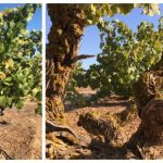 Amazing Wines from Ancient Vines photo