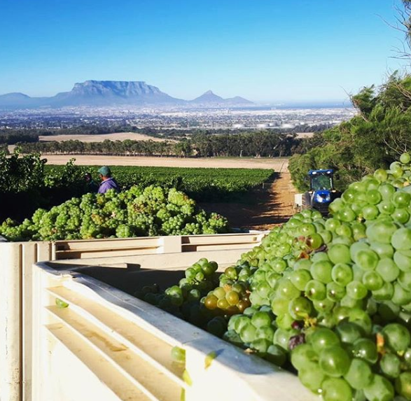 2019 Harvest in Full Swing at De Grendel photo