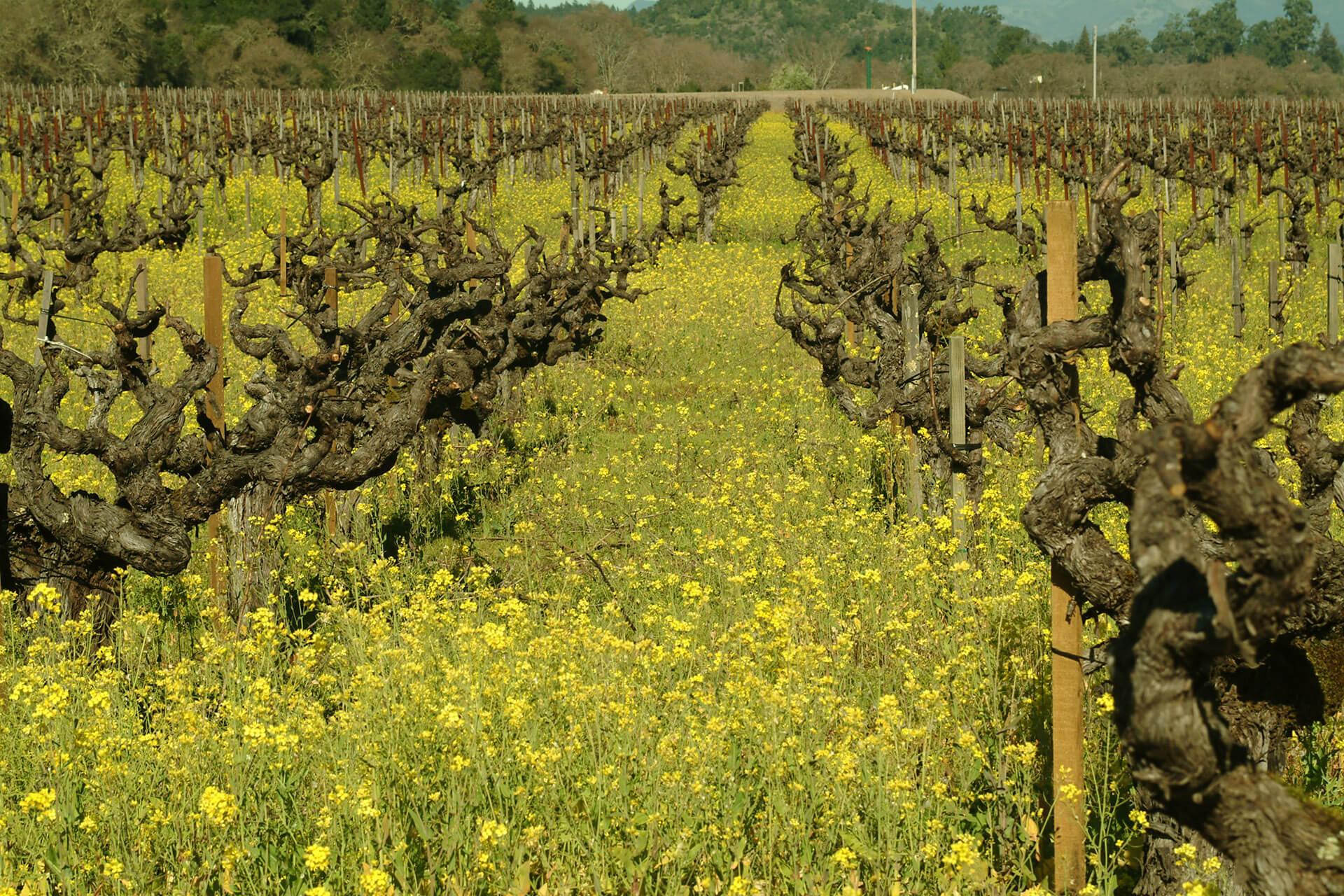 Old Vines That Still Make Great Wine photo