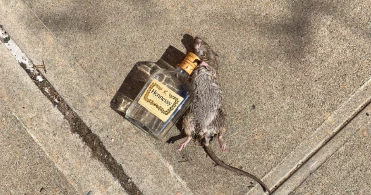 "Rat Lying Next To An Empty Bottle Of Hennessy Goes Viral As ""just Another Day In New York City"" photo"