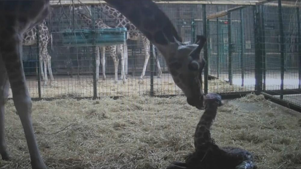 Watch: Endangered Giraffe Is Born At Chester Zoo photo