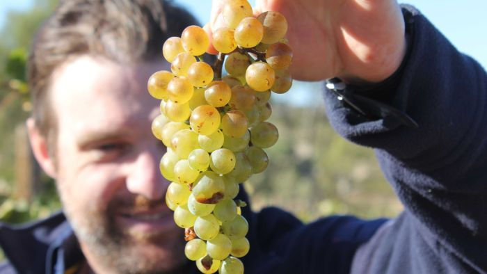 Wine Grape Yields Down By Up To 50 Per Cent In Sa, But All Is Not Lost photo