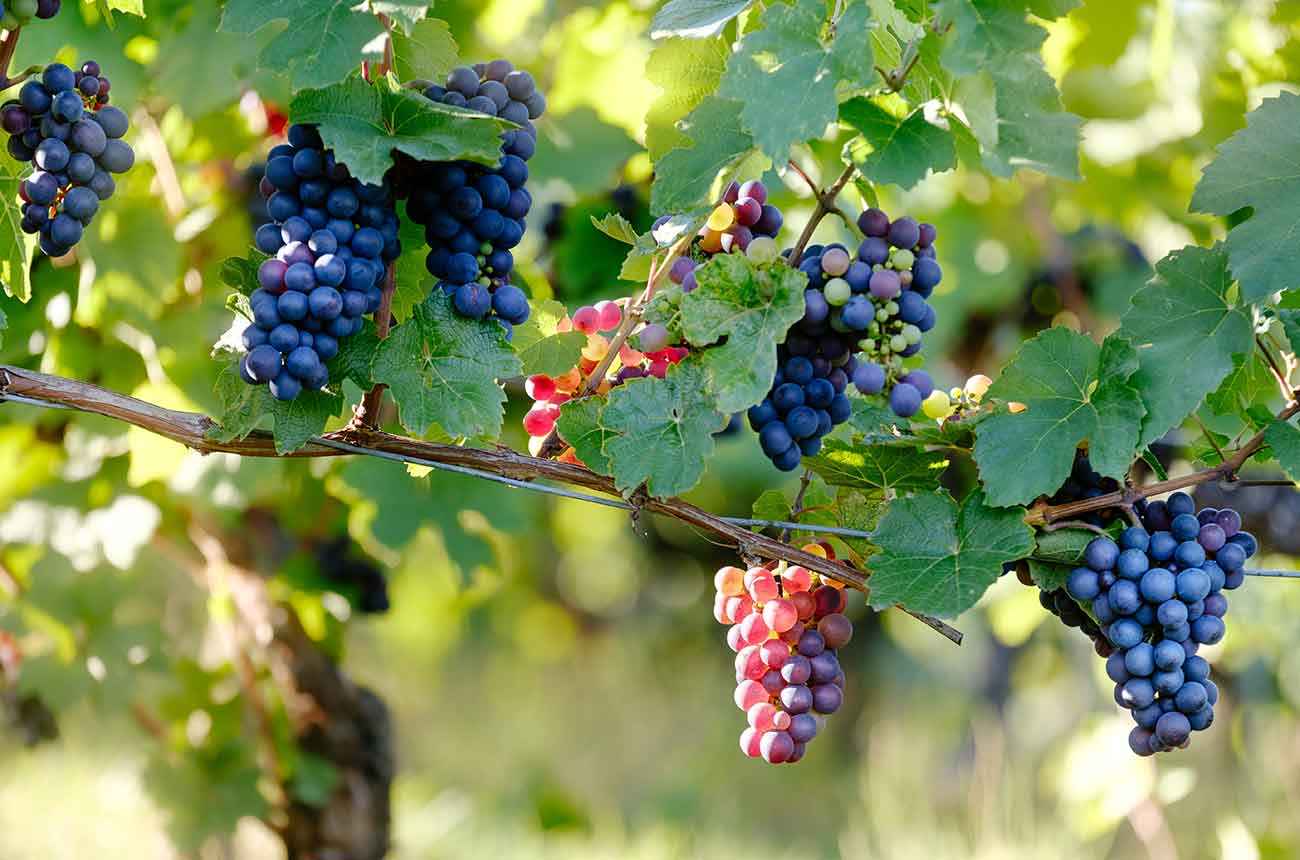 Champagne Grapes Permitted photo