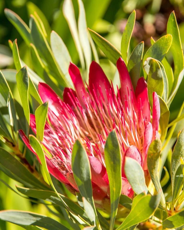 proteas Book A Fynbos Rehabilitation Walk At Haut Espoir