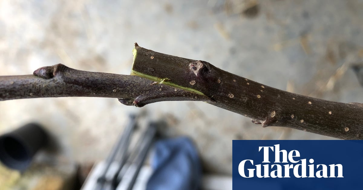 Country Diary: Grafting To Make New Cider-apple Trees photo