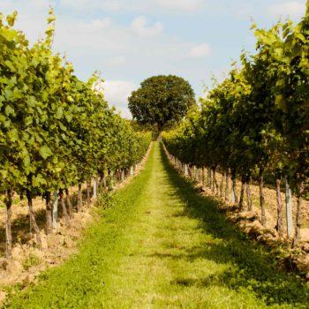 Gusbourne Announces New Plantings photo