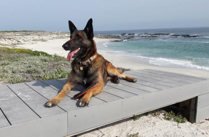 Adored Cape Adventure Dog Falls Ill photo