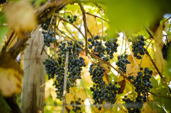 Virginia Wines: American History In A Glass photo
