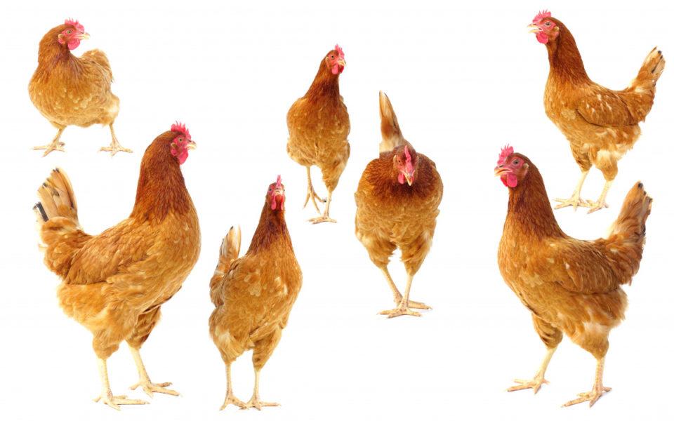 Eggs Wars: Salmonella Outbreaks Blamed On Free-range Farming photo