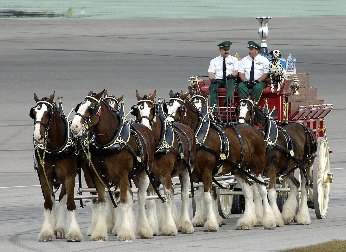 Budweiser Clydesdales At Oaklawn Park In Hot Springs May 4 photo