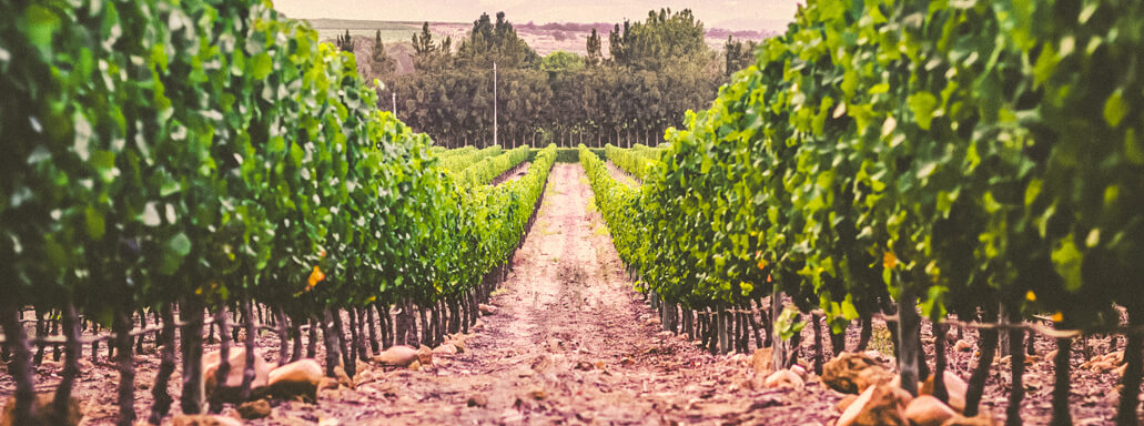 Seeing the (Wine) Glass Half Full – Boschendal Harvest Report 2019 photo
