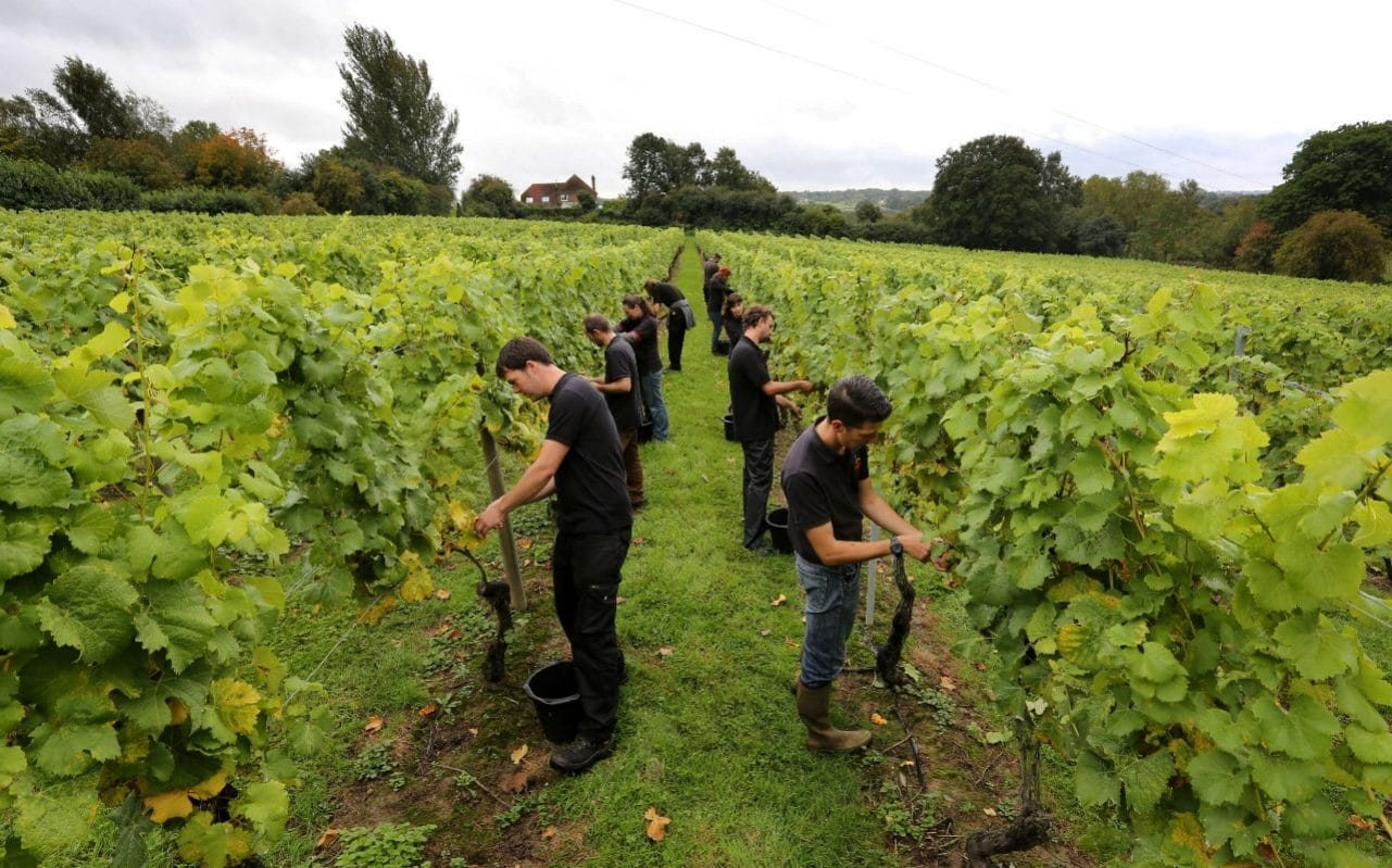Chapel Down Toasts 'extraordinary' Year After Bumper Grape Harvest photo