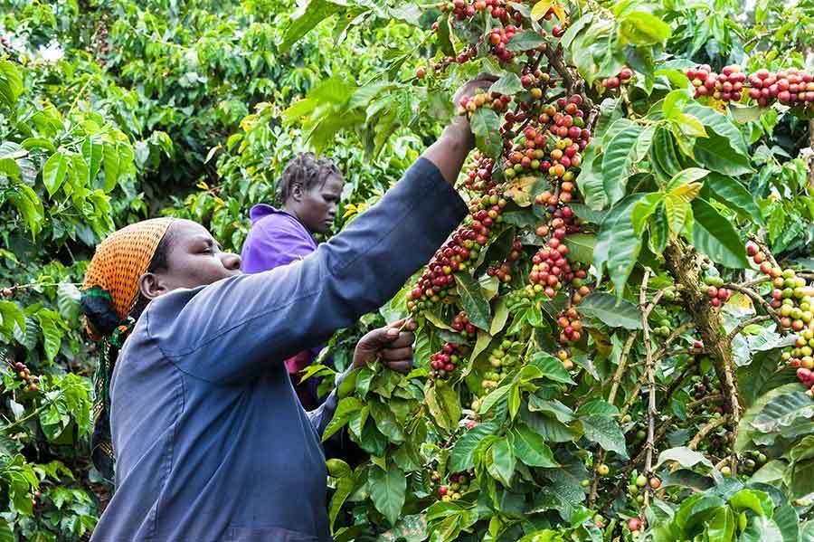 Kenya coffee A Brief History of Kenyan Coffee