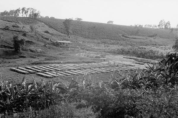 kenya coffee plantation history A Brief History of Kenyan Coffee