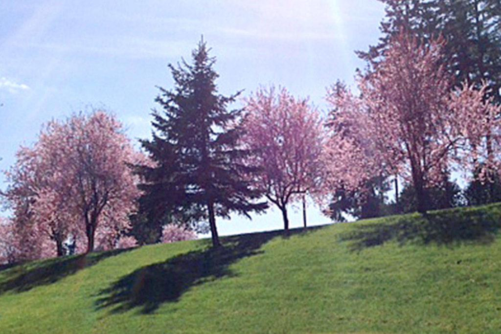 North Okanagan Cherry Crops Take Bigger Hit Than South photo