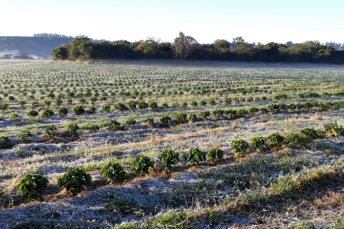 Unexpected Frost Brings Uncertainty To Brazilian Coffee Production photo
