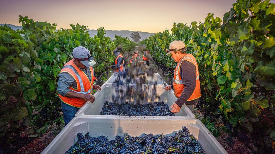 2019 Grape Harvest Began Before Dawn Tuesday At Mumm Napa Valley photo