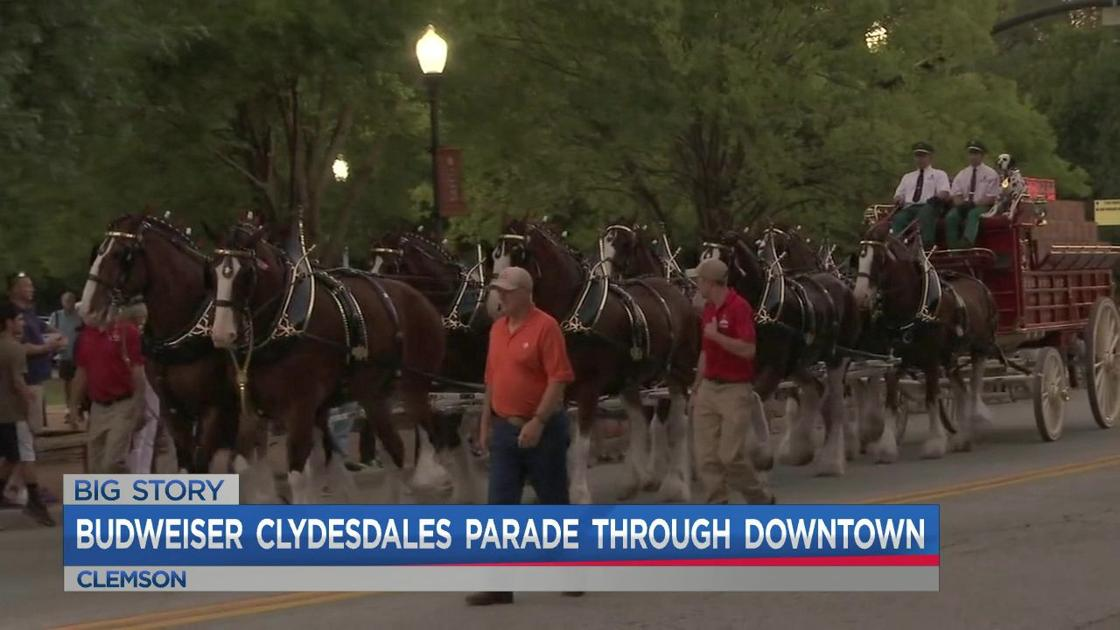 Budweiser Clydesdales Lead The Show At Clemson Parade! photo