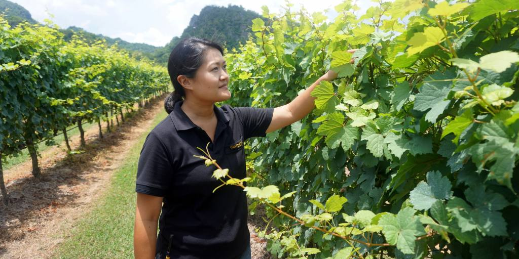 Thailand?s Tropical Winemakers Set Out To Rival Tuscany photo