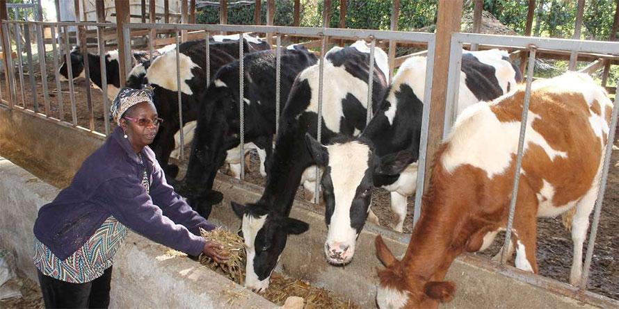Nakuru Dairy Farmers Record High Milk Production photo