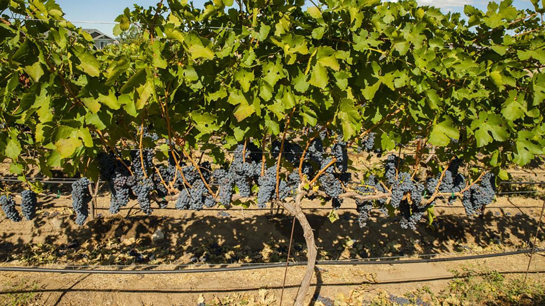 Cab Franc Catches On With Winemakers, Consumers photo