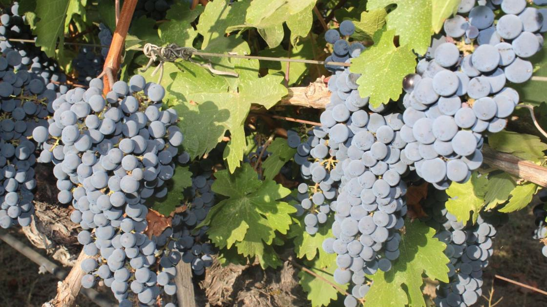 Napa Valley Harvest Report: Slow, Steady Ripening Continues photo