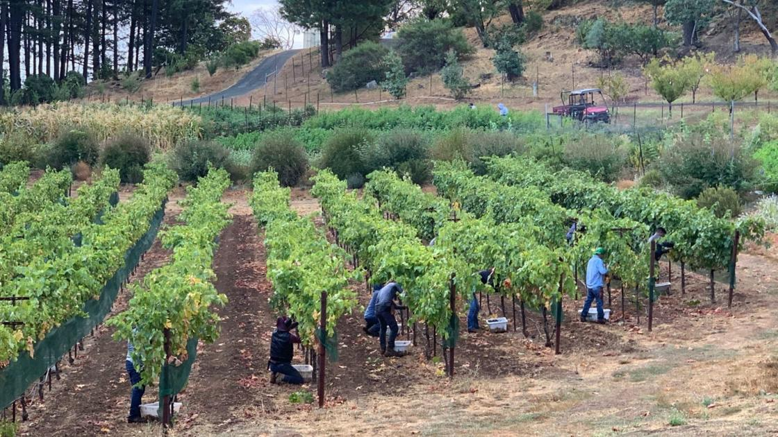 Napa Valley Harvest Report: Get Ready For Cabernet photo