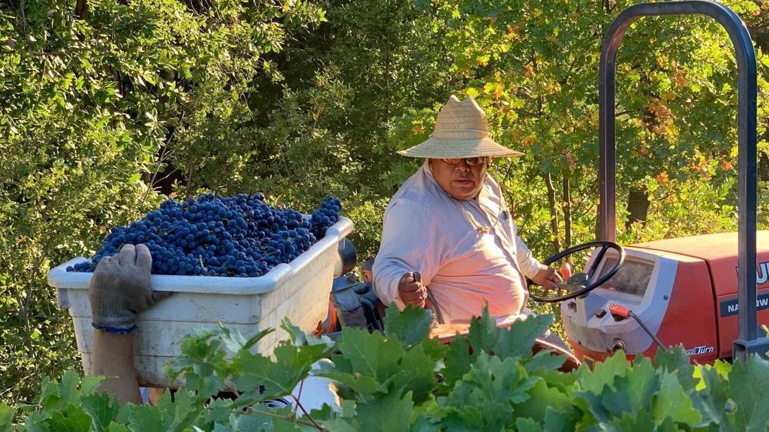 Napa Valley Harvest Report: Cabernet Harvest Begins photo