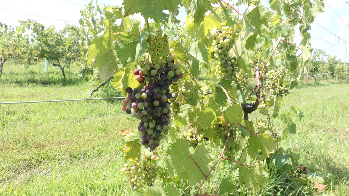 The Triumphant Wines And Vines Of Hunterdon County photo