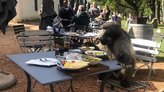 Watch: Cheeky Baboon Reserves Table For One At Groot Constantia Wine Farm photo