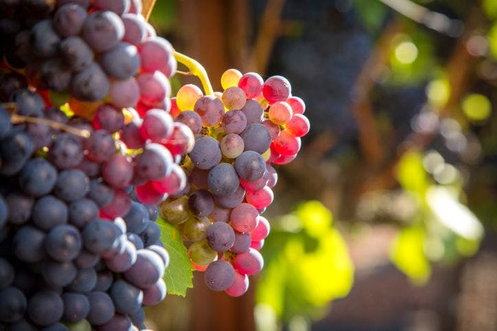 Why Grenache Makes Great Wine photo