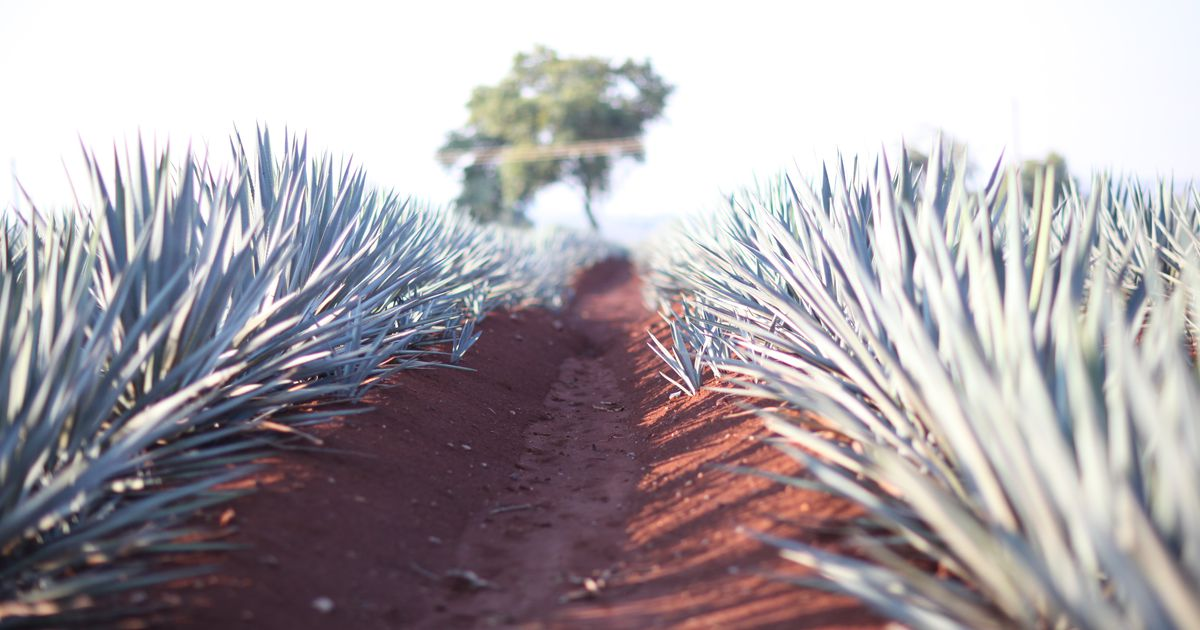 The Future Of Tequila: How Clones, Bats And Biodiversity Will Help Agave Survive photo