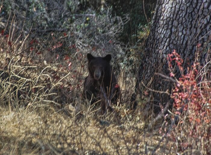 Black Bear Spotted In Santa Margarita Foraging Wine Grapes photo