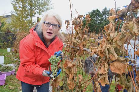 Video: For Truro's Joan Gibson, A Day?s Work At The Vineyard Is Her Own Ode To Thanksgiving ? And Her Farming Family photo