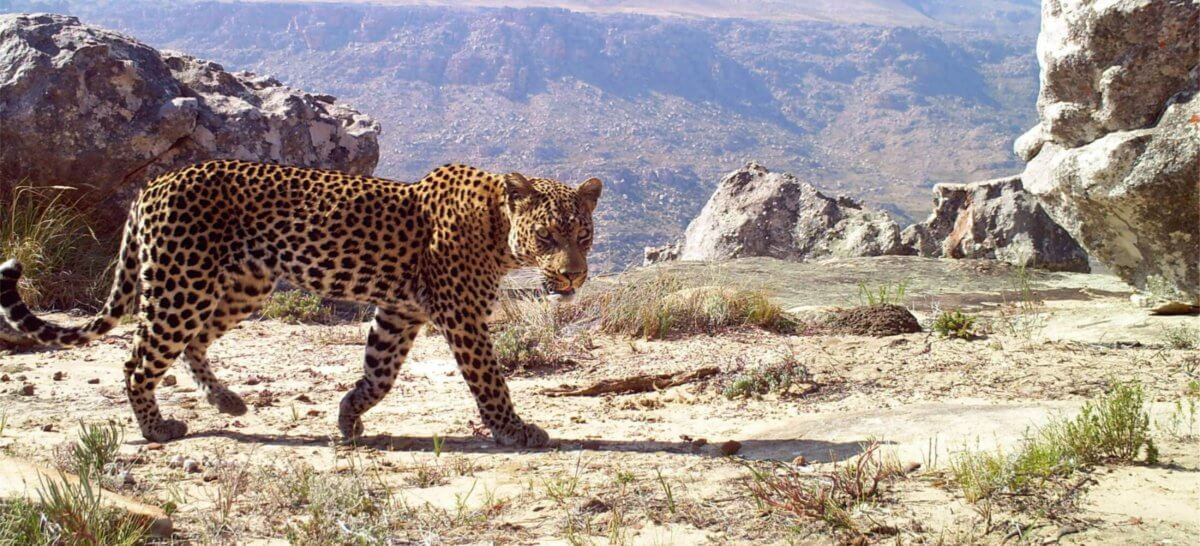 Cape Leopard Spotted Roaming Around Wine Farm In Franschhoek photo