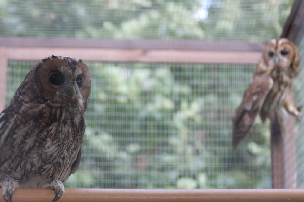 Two Rescued Tawny Owls Given New Home In Chichester photo