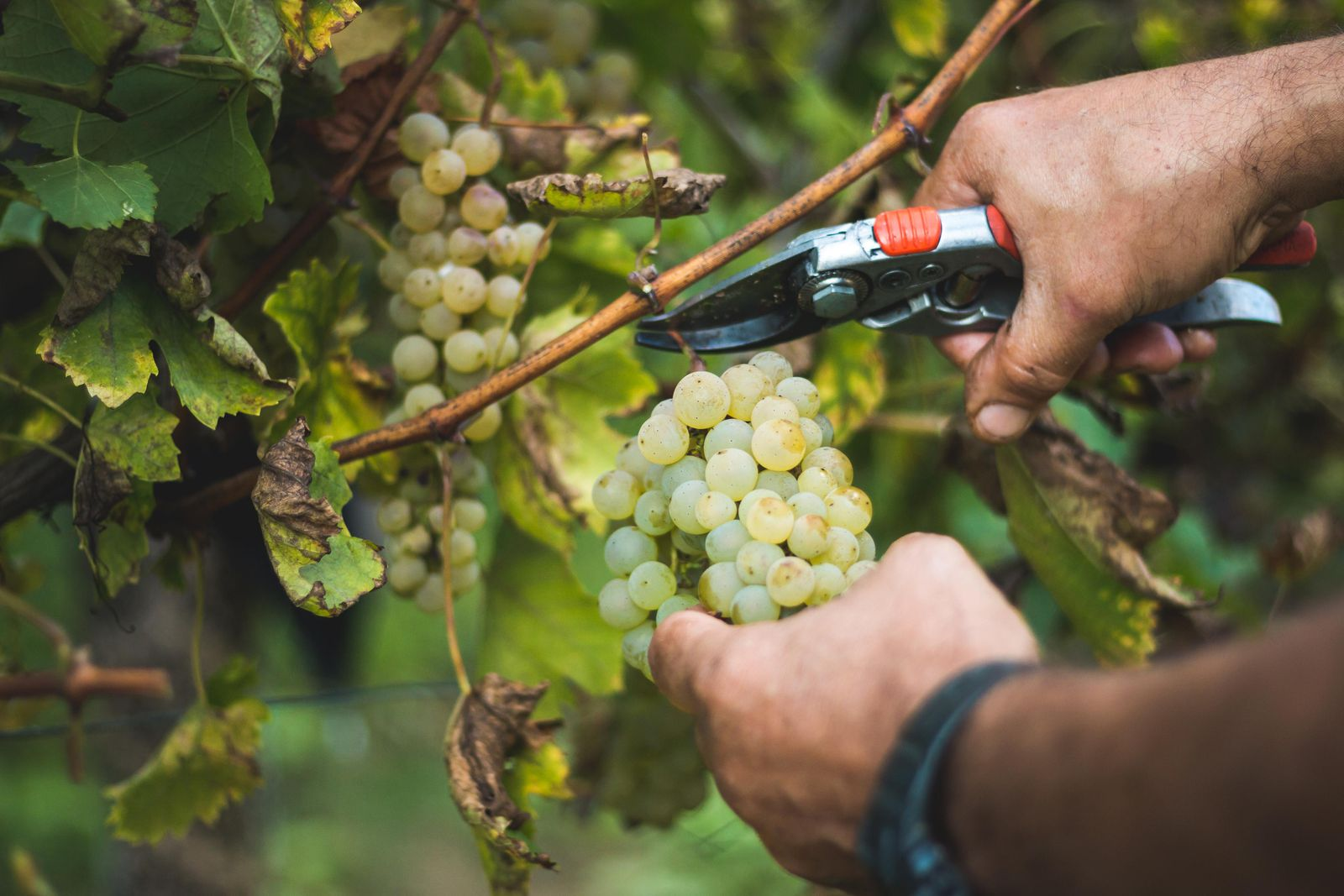 Three Mexican-american Vintners Tell Their Stories photo