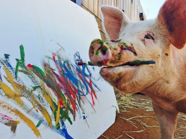 pigcasso Meet Pigcasso, The Pig That Paints In The Winelands Of South Africa
