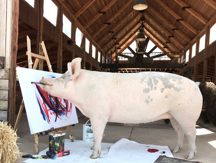 Meet Pigcasso, The Pig That Paints In The Winelands Of South Africa photo