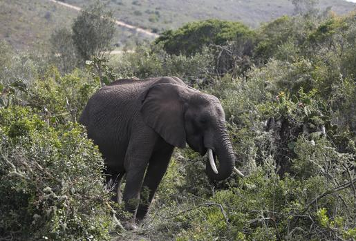 Special South African Gin Is Infused With Elephant Dung photo