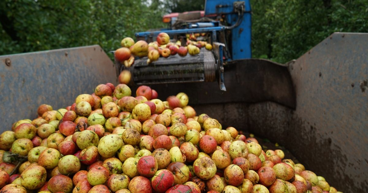 Cider Producer Hails Best Crop For Ten Years photo