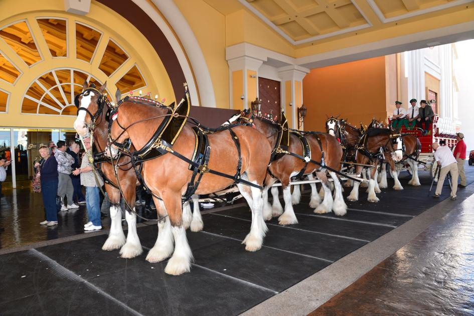 You Can Take Photos With The Budweiser Clydesdales On Thursday In Las Vegas photo