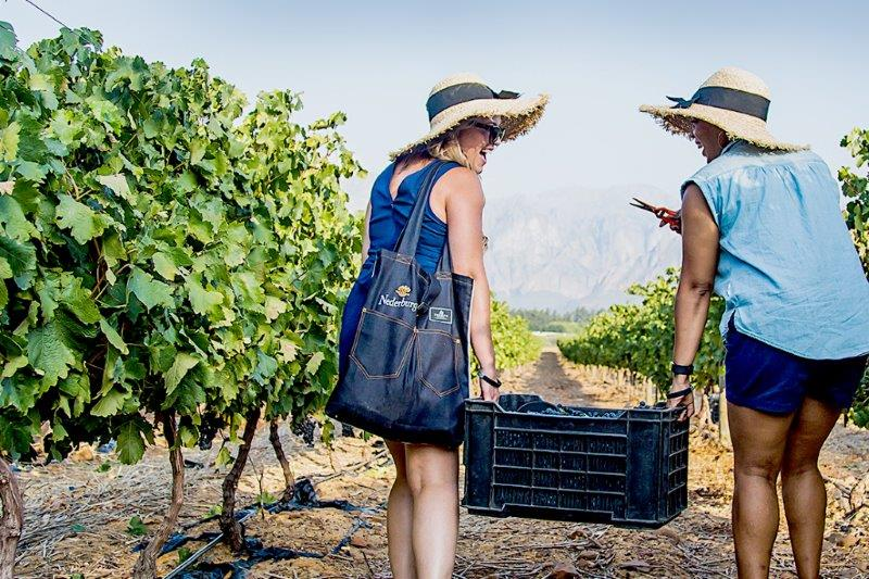 Sip, Savour, Snip And Squash At Nederburg's 2020 Harvest At Dusk Festival photo