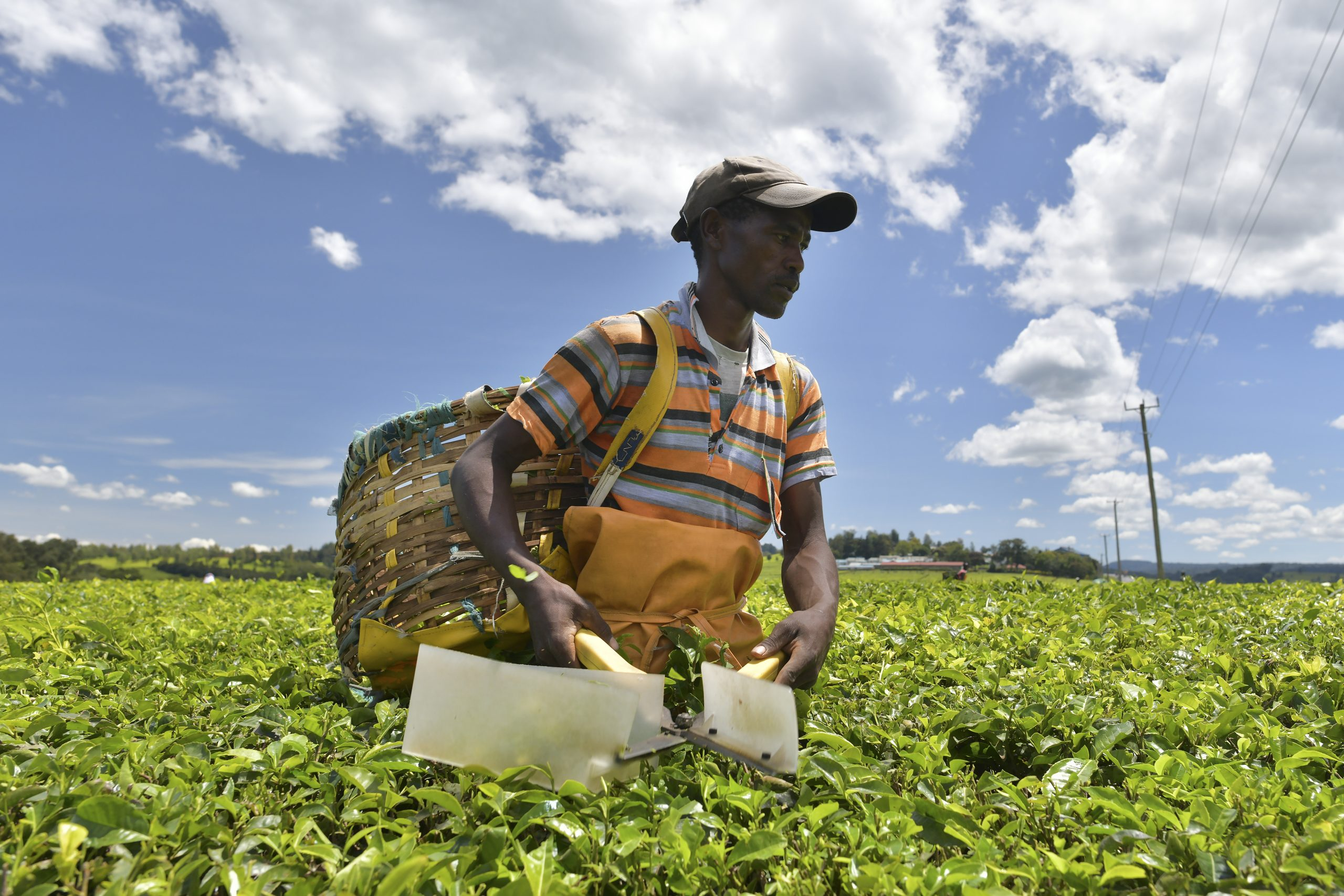 Kenya Tea Producers Turn Over A New Leaf As Prices Stumble photo
