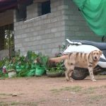 Coffee Farmer Makes Dog Look Like A Tiger To Save Crop From Monkeys photo