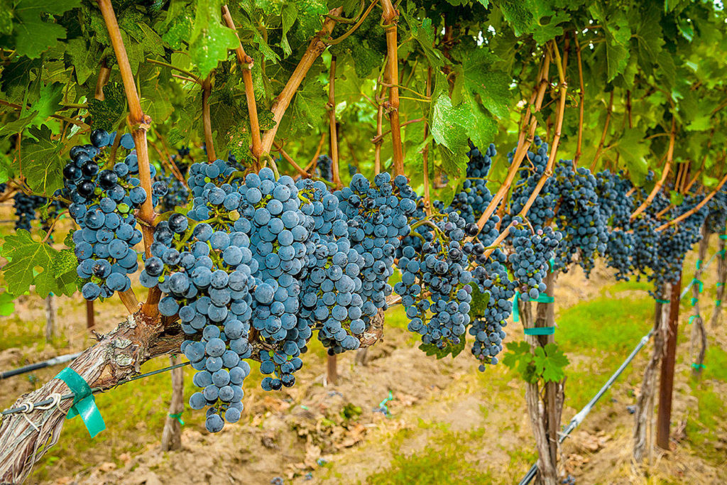 Okanagan Valley To Have The Largest Percentage Of Organic Wines In The World photo
