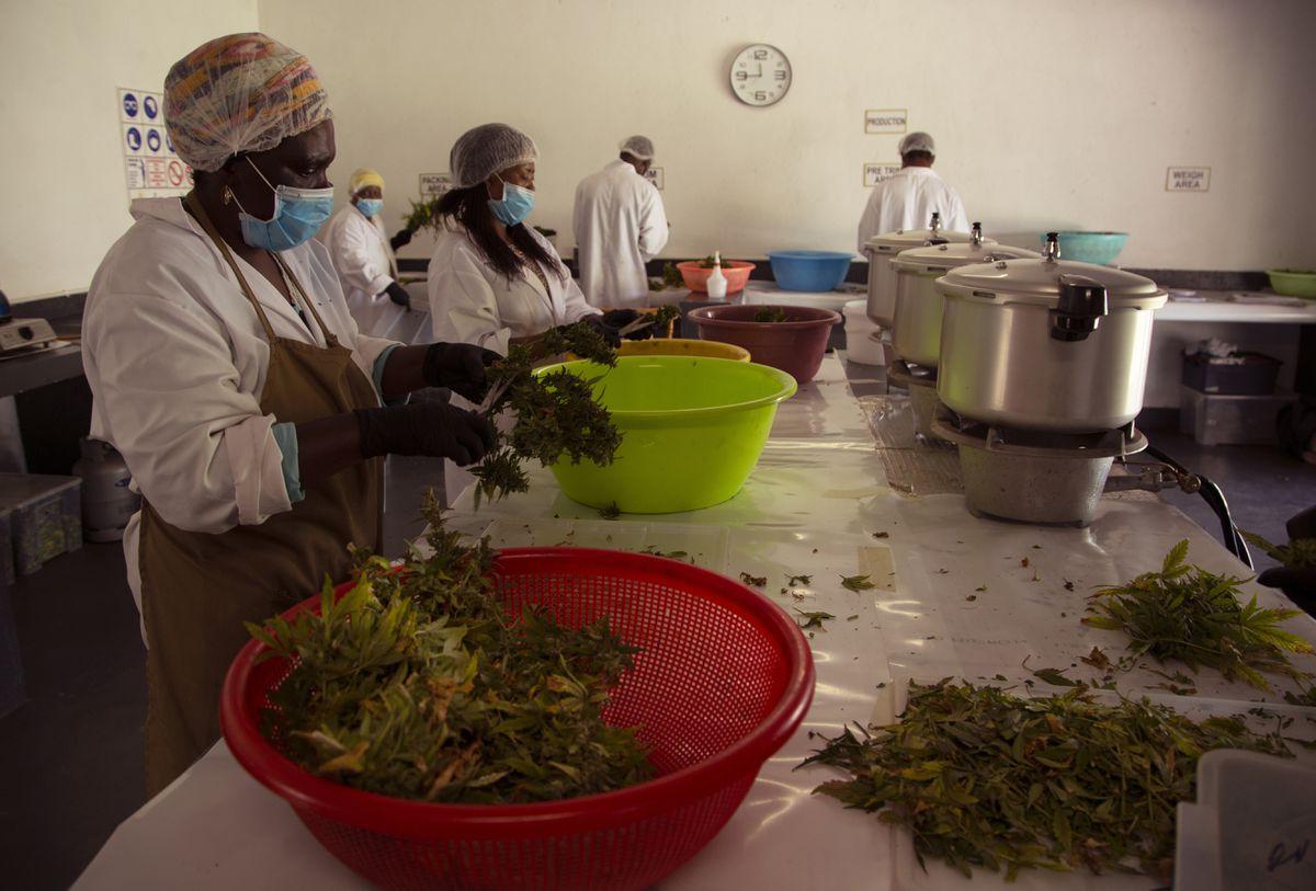 South Africa's Black Farmers Fight To Enter Marijuana Market photo