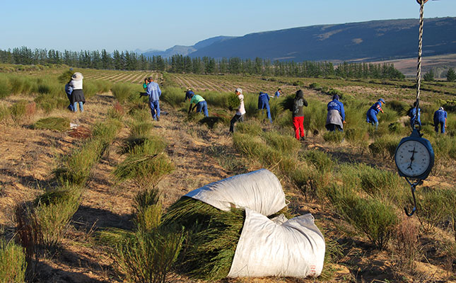 SA Consumers Becoming Better Educated About Rooibos Health Benefits photo