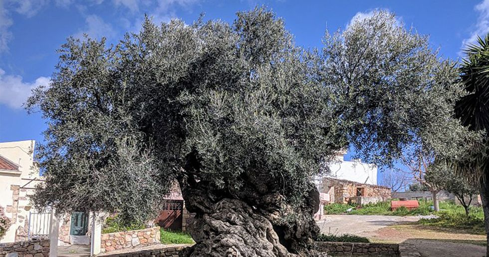 Historic 3,000-year-old Olive Tree Still Producing Olives To This Day photo