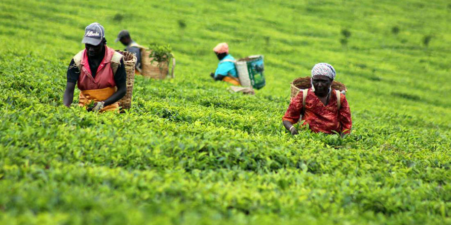 Global Tea In 20,000kg Daily Europe And Us Retailers' Contract photo
